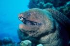 Murena olbrzymia osiąga długość do 3m oraz masę ciała do 60kg. Żyje do 25 lat. Pod względem masy jest największą mureną. Występuje na głębokości od 10-50m. Jest pospolita – […]