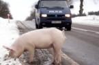 Gazownia donosi: Policjanci zrobili obławę na świnkę [WIDEO]. Ganiali ją dwie godziny To była akcja na miarę komandosów. Parę zespołów policji i straży miejskiej usiłowało złapać biegającą po drodze świnię. […]