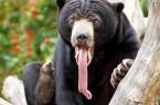 Kanadyjska policja odkryła plantację marihuany pilnowaną przez 13 niedźwiedzi, psa, wietnamską świnkę i szopa pracza…