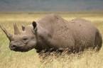 """data:06 maja 2015 Redaktor: GKut W """"Nosorożcu"""" Ionesco przedstawił kraj, który uległ inwazji nosorożców. Te monstrualne stwory początkowo tratowały tylko nieuważne koty, co nie zdążyły ujść kopytom rozpędzonego stada.  […]"""